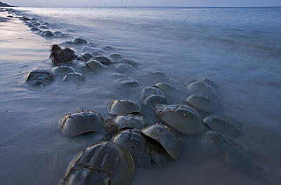 Horseshoe Crab Photograph - Horseshoe Crabs Crawling Ashore Delaware by Piotr Naskrecki