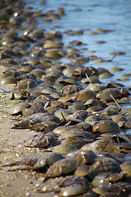 Photograph - Horseshoe Crabs Fill Beach by Robin Coventry