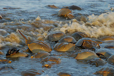 Photograph - Horseshoe Crabs In The Surf by Robin Coventry