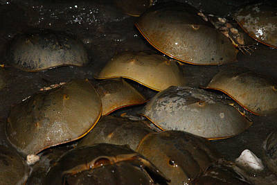 Photograph - Horseshoe Crabs Night by Robin Coventry
