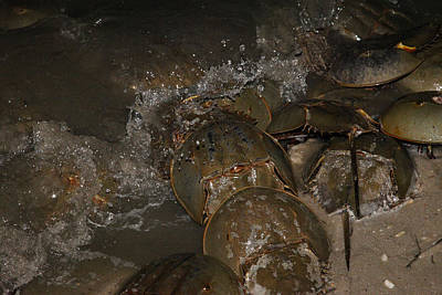 Photograph - Horseshoe Crabs On Beach At Night by Robin Coventry
