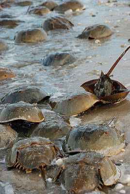 Photograph - Horseshoe Crabs On Beach by Robin Coventry