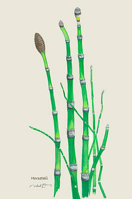 Painting - Horsetail - Equisetum Arvense by Michael Earney
