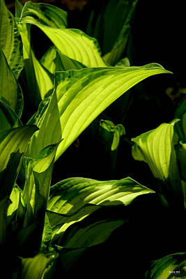 Photograph - Hosta 561 by Brian Gryphon