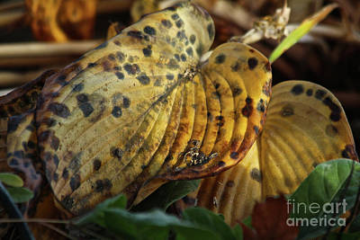 Photograph - Hosta by Ann E Robson