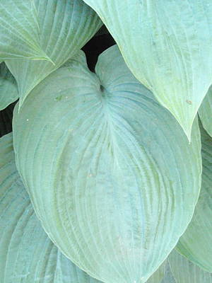 Print featuring the photograph Hosta by Beth Akerman