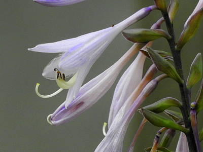 Photograph - Hosta Blooms by Betty-Anne McDonald
