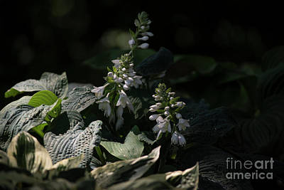 Photograph - Hosta Blossoms by David Bearden
