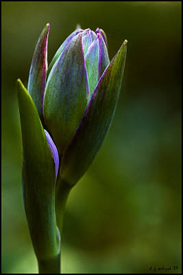 Hosta Buds No 2 Art Print by Daniel G Walczyk