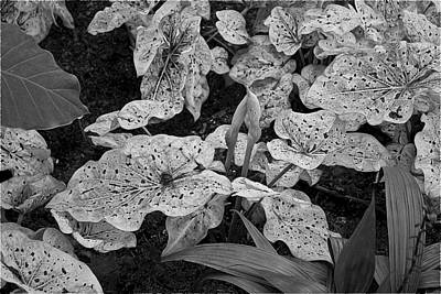 Photograph - Hosta Bw - Pla363 by G L Sarti