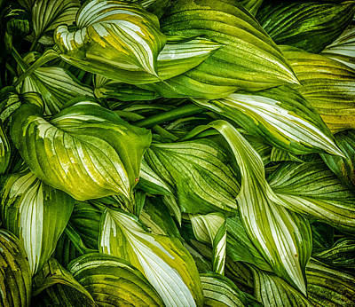 Hosta Chaos Original by Ches Black