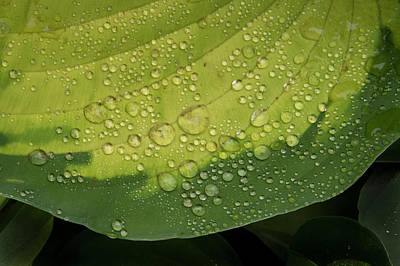 Hosta Drops Art Print by Jean Noren