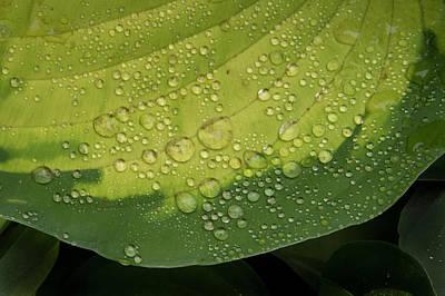 Photograph - Hosta Drops by Jean Noren