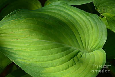 Photograph - Hosta Green by Maria Urso