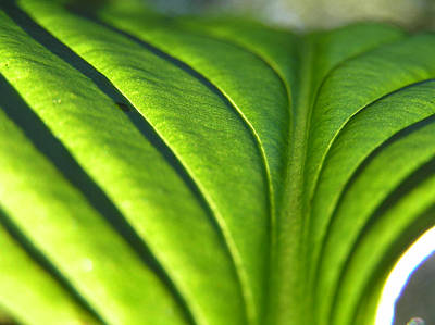 Mountians Photograph - Hosta Leaf 3 by Dustin K Ryan