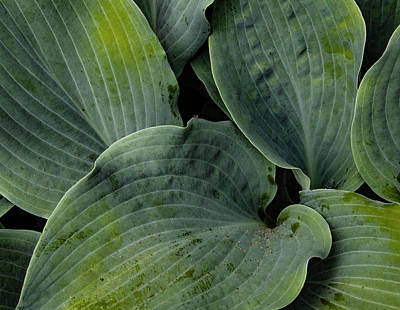 Photograph - Hosta Leaf Design by Jean Noren