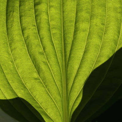 Photograph - Hosta Leaf by Inge Riis McDonald