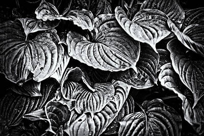 Photograph - Hosta Leaves In Black And White by Mother Nature