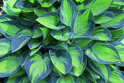 Photograph - Hosta by Michiale Schneider