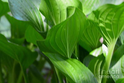 Photograph - Hosta Waves by Maria Urso