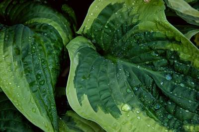 Photograph - Hosta With Raindrops by Patricia Strand