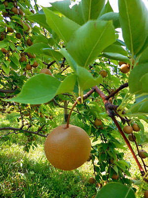 Hosui Asian Pear Tree 2 Art Print by Lanjee Chee