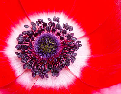 Photograph - Hot Anemone by Rebecca Cozart