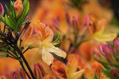 Photograph - Hot Azalea by Robert Potts