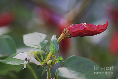 Photograph - Hot Chili Pepper by Rudi Prott