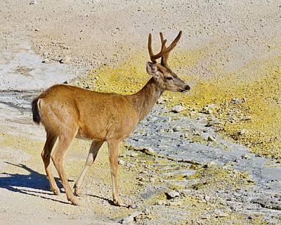 Photograph - Hot Foot - Columbia Deer by KJ Swan