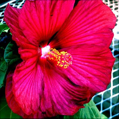 Photograph - Hot Hibiscus by Marianne Dow