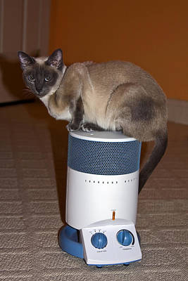 Tonkinese Cat Photograph - Hot Kitty by Sally Weigand