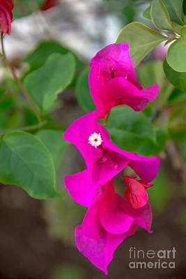 Photograph - Hot Pink Bougainvillea by Cheryl Baxter