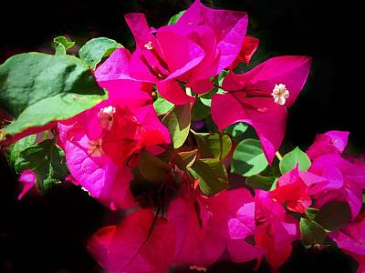 Photograph - Hot Pink Bougainvillea Flowers by Anne Sands