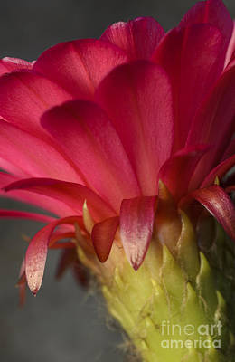 Photograph - Hot Pink Cactus Flower by Tamara Becker