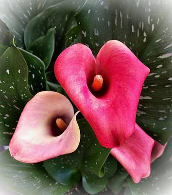 Photograph - Hot Pink Calla Lily by Joe Duket