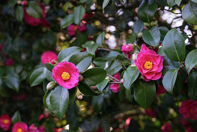 Photograph - Hot Pink Camellias Glowing In The Shade by Georgia Mizuleva