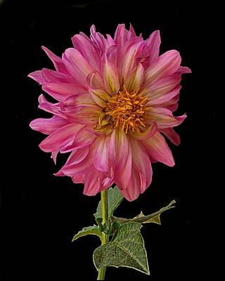 Photograph - Hot Pink Dahlia by Joe Duket