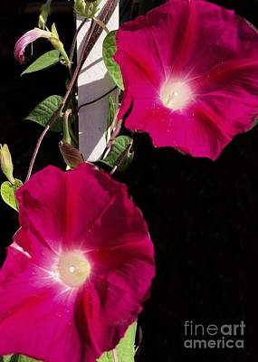 Photograph - Hot Pink Glories by Anne Sands