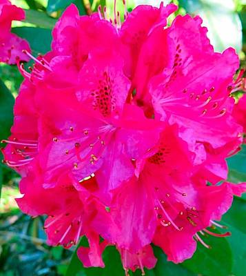 Photograph - Hot Pink Hydrangea by Betty Buller Whitehead