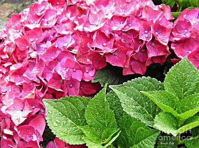 Photograph - Hot Pink Hydrangea by Sarah Loft