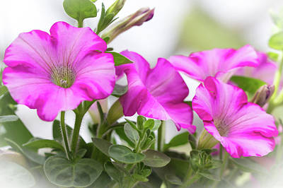 Hot Pink Petunias Art Print by Mother Nature