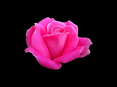 Photograph - Hot Pink Rose On Black by MTBobbins Photography