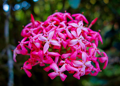 Photograph - Hot Pink Tropical Cluster by Robert Meyers-Lussier