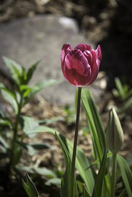 Spring Bulbs Photograph - Hot Pink Tulip by Teresa Mucha