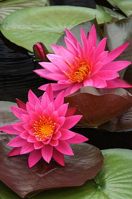 Photograph - Hot Pink Twin Tropical Waterlily Charm by Byron Varvarigos