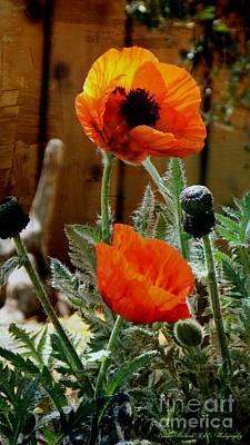 Photograph - Hot Poppy Digi Paint by Bobbee Rickard