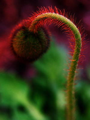 Photograph - Hot Poppy by Susie DeZarn