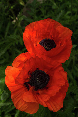 Photograph - Hot Red Poppy Duet - A Vertical View by Georgia Mizuleva