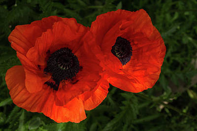 Photograph - Hot Red Poppy Duet - Horizontal by Georgia Mizuleva